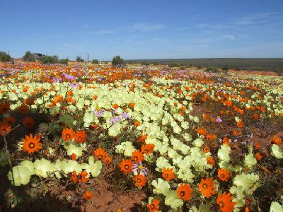 More flowers in Namaqualand